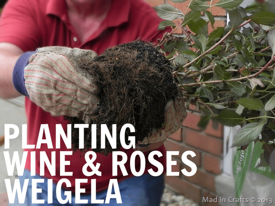 Planting-Wine-Roses-Weigela_thumb4