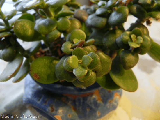 new-growth-on-jade_thumb