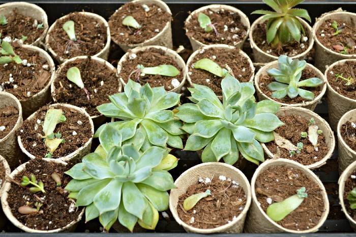 POTTING PROPAGATED SUCCULENTS
