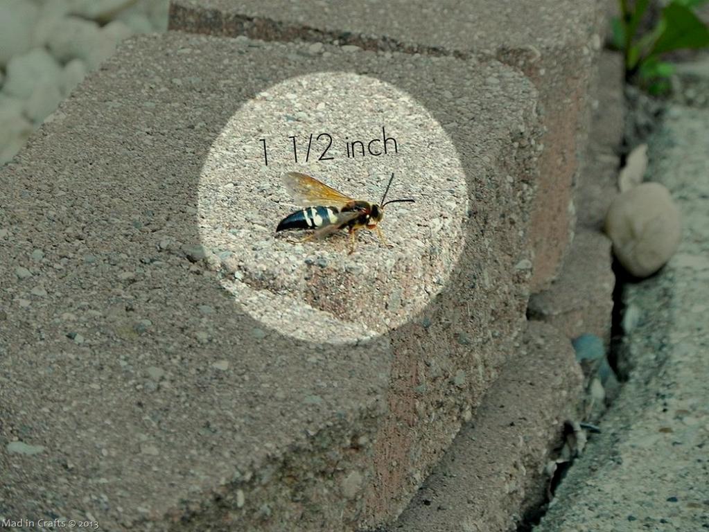 cicadakiller-size_thumb