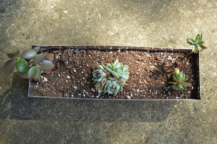 repotting old succulents